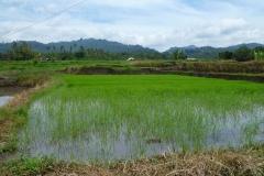 Reisfelder in Zentral-Bali.
