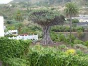 Der Drachenbaum ist nur eine der Naturschönheit Teneriffas. Foto: Kaloglou