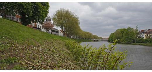 Die Bäume auf dem Weserdeich in der Neustadt müssen gefällt werden. Foto: WR