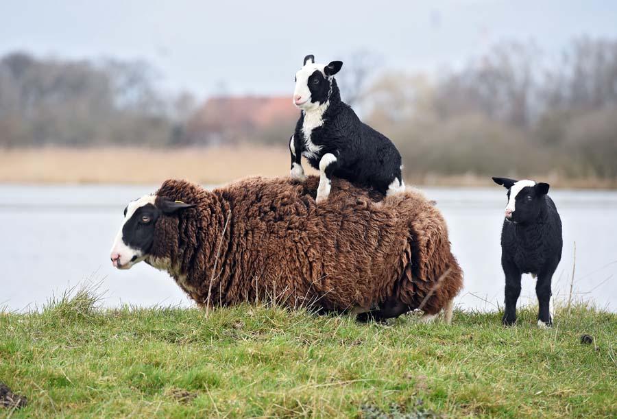 Ganz und zu Extrem Schafe spüren Zuneigung