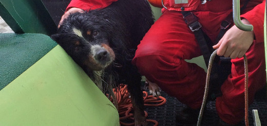 """Berner Sennenhund """"Rocky"""" nach seiner Rettung durch die freiwilligen Seenotretter der Station Norddeich der Deutschen Gesellschaft zur Rettung Schiffbruechiger (DGzRS) am 8. April 2016 an Bord des Seenotrettungsbootes CASSEN KNIGGE"""