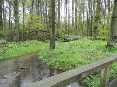 Zwar führen Fußwege durch das Klosterholz, eine Parklandschaft soll aber ganz bewusst nicht entstehen. Totholz bietet einen Lebensraum für seltene Käferarten. Foto: Bosse