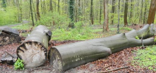 Wenn im Klosterholz gefällte Baumstämme liegen bleiben, soll das den naturbelassenen Charakter des Wäldchens unterstützen. Foto: Bosse
