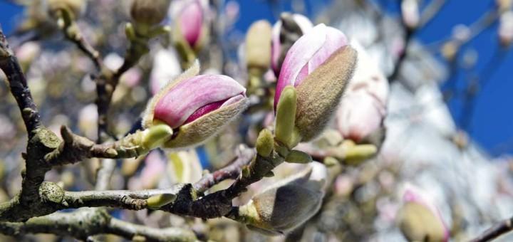 Magnolien blühen in Bremen am Wall. Foto: Schlie