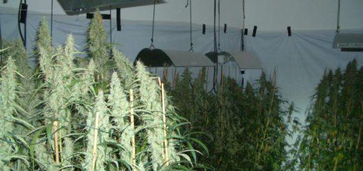 Cannabisplantage in der Bremer Neustadt. Foto: Polizei