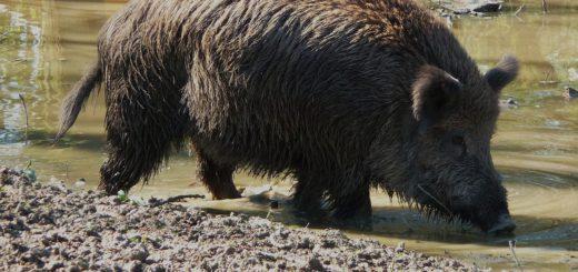 Ob die Blumenthaler in Zukunft auch so nah an die Wildschweine heran kommen? Der Stadtjägermeister will das verhindern. Foto: 4028mdk09/Wikipedia