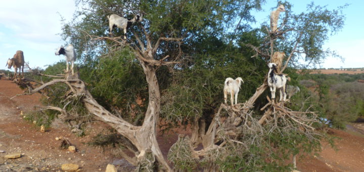 Essaouira Ziegen Marokko Foto: Kaloglou