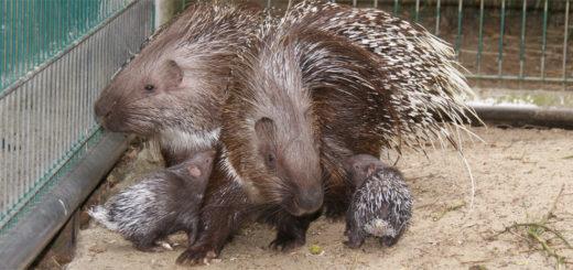 Stachelschweine sind Nagetiere, im Tiergarten Ludwigslust bei Osterholz-Scharmbeck freut man sich gerade über Nachwuchs. Foto: Möller