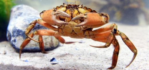 """Ausstellung """"MeerErleben"""" im Weserpark: Im Modul """"Krabbe & Co."""" erlebt man die Meeresbewohner hautnah. Foto: Schlie"""