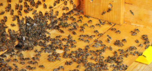 Bienen in einer Imkerei. Foto: Bahlo