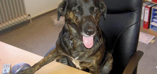 Kollege Hund im Einsatz am Schreibtisch. Foto: Tierschutzverein