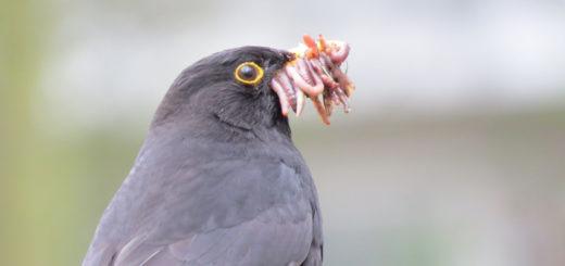 Der Regenwurm hat zahlreiche Funktionen. Hier, für den Wurm eher unglücklich, als Nahrungsquelle für eine Amsel. Foto: Nabu