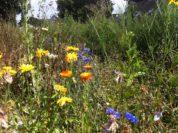 Wildblumen auf der Brachfläche an der Kirchhuchtinger Landstraße