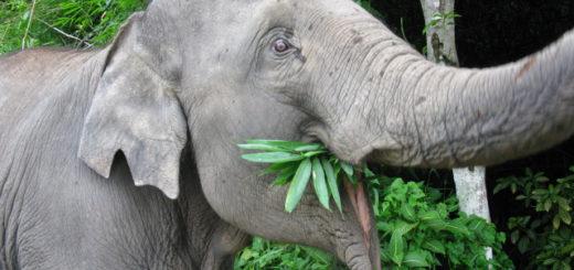 Die Elefanten-Dame Khamkoon wollte in Thailand lieber fressen, als spazieren gehen. Foto: Bohlmann