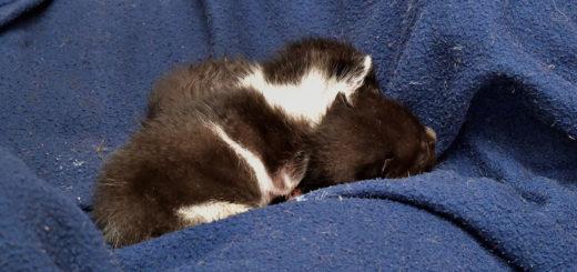 Insgesamt hatte diese Katze sieben Kitten bekommen. Drei fanden die Tierschützer tot an der Fundstelle, zwei mussten aufgrund des massiven Madenbefalls eingeschläfert werden. Zwei Kitten kämpfen derzeit noch auf dem Delmenhorster Tierschutzhof ums Überleben. Foto Konczak