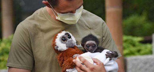 Das Gibbon-Baby Jupp. Foto: Schlie