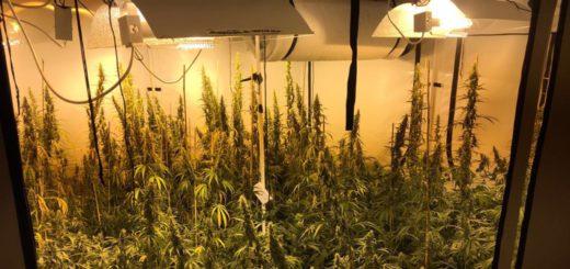 Die Cannabispflanzen mitten in Bremen. Foto: Polizei Bremen