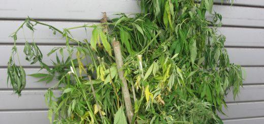 In Aumund-Hammersbeck stieß eine Kontaktpolizistin auf eine illegale Cannabisplantage. Foto: Polizei Bremen