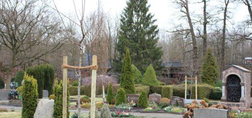 Auf den Freiflächen zwischen den Gräbern haben die jungen Bäume Platz gefunden. Foto: Füller
