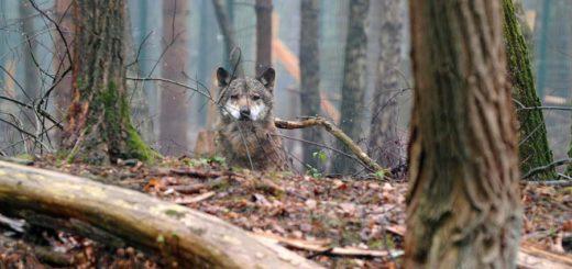 Das in Bremen-Farge gesichtete Tier wurde eindeutig als Wolf identifiziert. Symbolfoto: Schlie