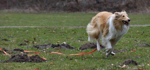 Hund hat Freilauf mit Schleppleine. Gnaz ohne Leine ist der Auslauf in Bremen für Hunde aber nur an wenigen Stellen möglich - besonders von Mitte März bis Mitte Juli, während der Brut- und Setzzeit. ´Viele Hundehalter fordern deshalb mehr Freilaufflächen - oder gleich eine Abschaffung des Leinenzwangs. Foto: WR