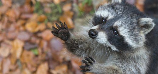 """So putzig der Waschbär mit seiner """"Panzerknacker-Augenbinde"""" auch wirken mag – in der hiesigen Natur stellt der nachtaktive Räuber eine Bedrohung für viele seltene Arten dar. Foto: DJV/Rolfes"""