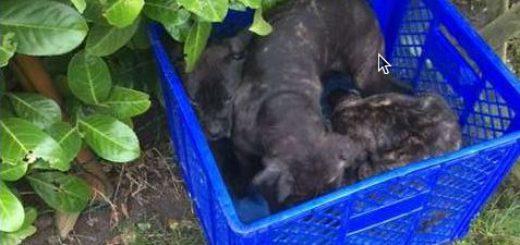 Diese drei Hundewelpen wurden in einem geschlossenen Kofferraum transportiert und offenbar illegal nach Deutschland eingeführt. Foto: Polizei Verden/Osterholz
