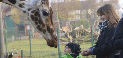 Ab und zu dürfen die Besucher den Giraffen auch näher kommen unter der Anleitung erfahrener Tierpfleger. Foto:pv