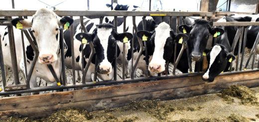 Die Familie Stubbemann setzt auf eine konventionelle Produktion mit Stallhaltung für die Milchkühe. Lediglich das Jungvieh und die trächtigen Milchkühe dürfen auf die Weide. Foto: Konczak