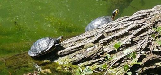 Die Gelbwangen- Schmuckschildkröten Schildkröten im Sodenmattsee sind echte Exoten. Huchting hat aber vor allem im Park links der Weser noch viel mehr wilde Tiere zu bieten - darunter auch viele geschützte Arten. Foto: Pförtner