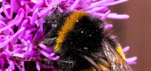 Anders als Bienen legen Hummeln (Bild) keine Vorräte an. Deswegen sind sie gerade in der Pollenärmerenzeit im Juli nah am verhungern. Foto: pixabay