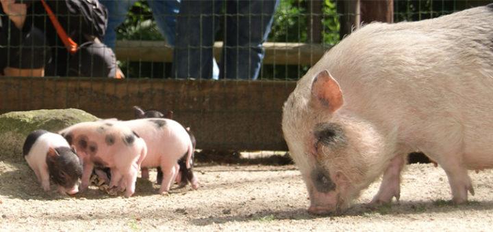 Die Minischweine im Zoo Ludwiglust haben Nachwuchs