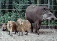 Tapire und Wasserschweine kommen gut miteinander aus. Foto: Konczak