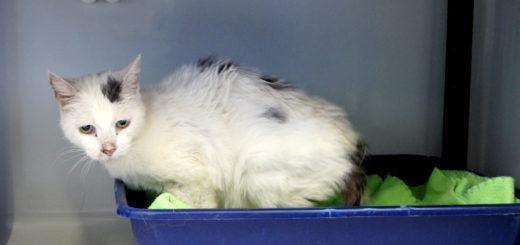 Wer diese Katze kennt, wird gebeten, sich beim Bremer Tierheim zu melden. Foto: Tierschutzverein