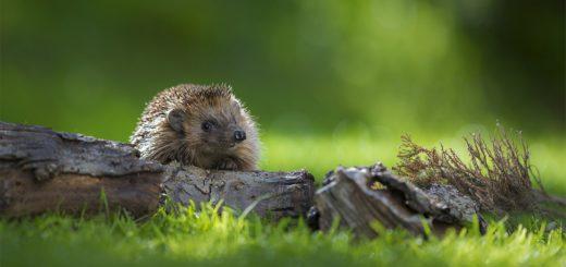 Kleine Igel müssen schnell lernen, sich um sich selbst kümmern. Foto: NABU/Andreas Bobanac
