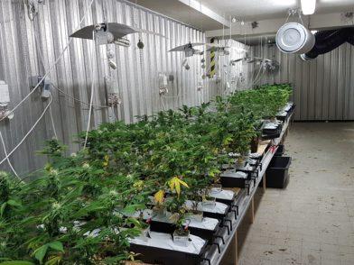 Mehr als 500 Pflanzen wurden gefunden. Foto: Polizei Bremen