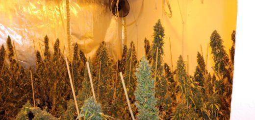 Die Cannabis-Pflanzen waren bei der Durchsuchung teilweise schon abgeerntet. Foto: Polizei Bremen
