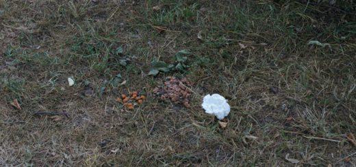 Tierfutter und Sahne legt die Besitzerin der Katzen auf dem Rasen des Spielplatzes aus. Foto: Bültel