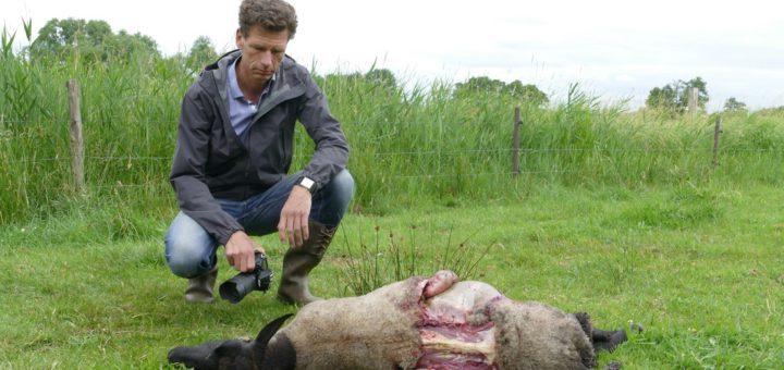 Marcus Henke zeigt, wie der Wolf das Schaf mit dem Kehlbiss entweder erstickt oder ihm das Genick gebrochen hat. Foto: Bollmann