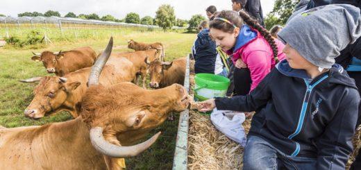 Die Kinder fütterten die Kühe von Martin Clausen vom Treckeranhänger herunter mit Brot und Bananen. Vor den Hörnern der Tiere hatten die Heranwachsenden viel Respekt.Foto: Meyer