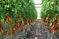 Die Tomaten lieben die aktuellen Temperaturen. Foto: Konczak
