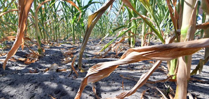 Vielfach sind die Maisfelder verdorrt. Foto: Konczak