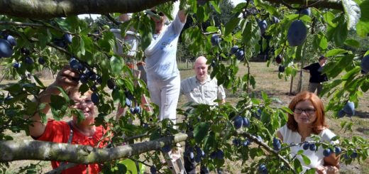 """Die """"Freunde des Hasbruchs"""" pflücken auf ihrer Streuobstwiese Zwetschgen und Äpfel für den Kuchen, den es zum diesjährigen Hasbruchtag an der Jagdthütte geben soll.Foto: Konczak"""