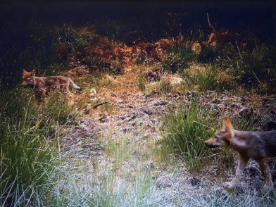 """Zwei Wolfswelpen """"tappten"""" vergangene Woche in eine Fotofalle im Wald bei Garlstedt. Foto: Wolfsmonitoring"""