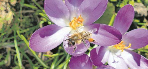 Selbst im kühlen Frühjahr sind die Bienen schon unterwegs und sammeln Pollen und Honig an den Blüten. Jetzt droht den fleißigen Insekten allerdings Gefahr: In neun Bremer Stadtteilen wurden Sporen der Amerikanischen Faulbrut gefunden.Foto: Bollmann