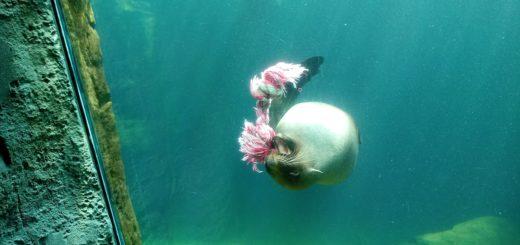 Der Seebär schwimmt mit Kinderspielzeug im Maul durchs Becken, lässt es fallen und packt wieder zu – und fesselt so die vielen Besucher im Zoo am Meer. Foto: Mader