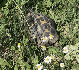 Schildkröte nimmt Sonnenbad.