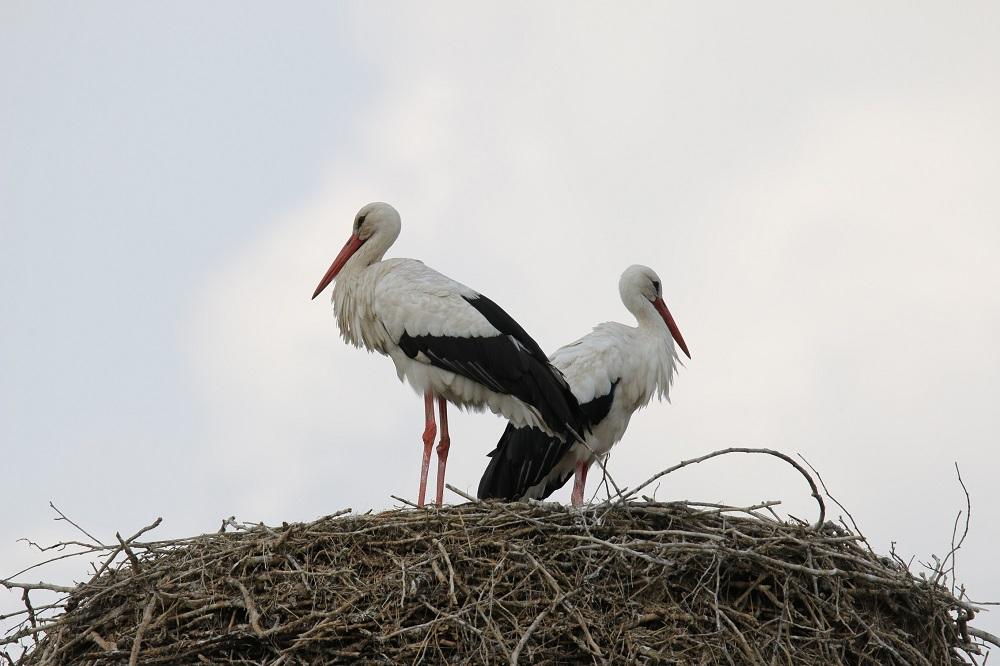 Neben vielen Wasservögeln kann man am Dümmer auch besonders häufig Störche beobachten. Fotos: Bollmann