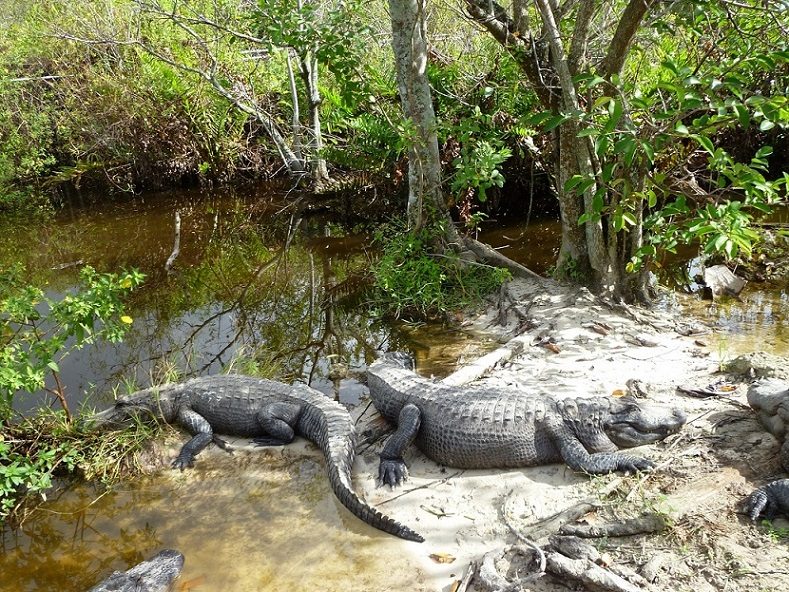 Alligatoren im Everglades-Nationalpark