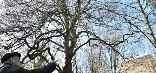Rund um die Lahusen-Villa auf der Nordwolle sind so manche mutierte und kuriose Bäume zu finden. Karl Bringmann lädt für Sonntag zu einem kundlichen Rundgang ein. Im Anschluss treffen sich interessierte Baum-Freunde im Café Chateau.Foto: Konczak